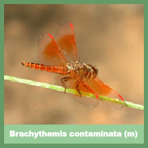 Brachythemis contaminata (male)