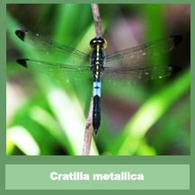 Cratilla metallica