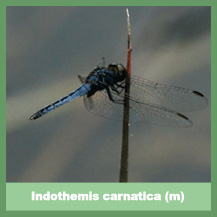 Indothemis carnatica (male)