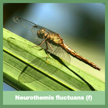 Neurothemis fluctuans (female)
