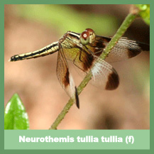 Neurothemis tullia tullia (female)