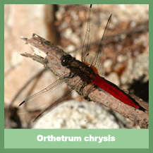 Orthetrum chrysis? - darker