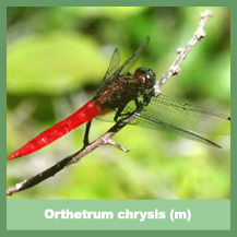 Orthetrum chrysis (male)