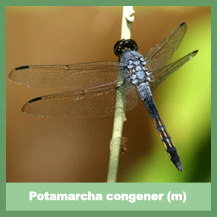 Potamarcha congener (male)