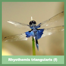 Rhyothemis triangularis (female)