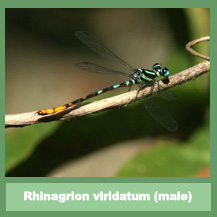 Rhinagrion viridatum (male)