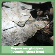 Copera marginipipes (juvenile - ghost form)