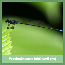 Prodasineura laidlawii (male)