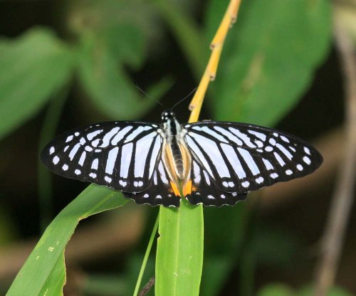 Graphium xenocles lindos (Great Zebra)