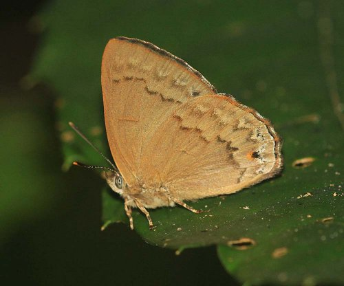 Deramas livens evansi. All members of this genus are very rare.