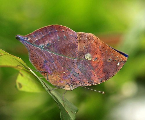 Kallima limborgi. The famous Leaf Butterfly, a species I had always wanted to find.